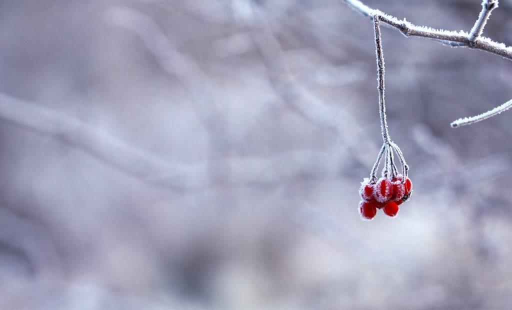 Winter berries on a frozen bough.