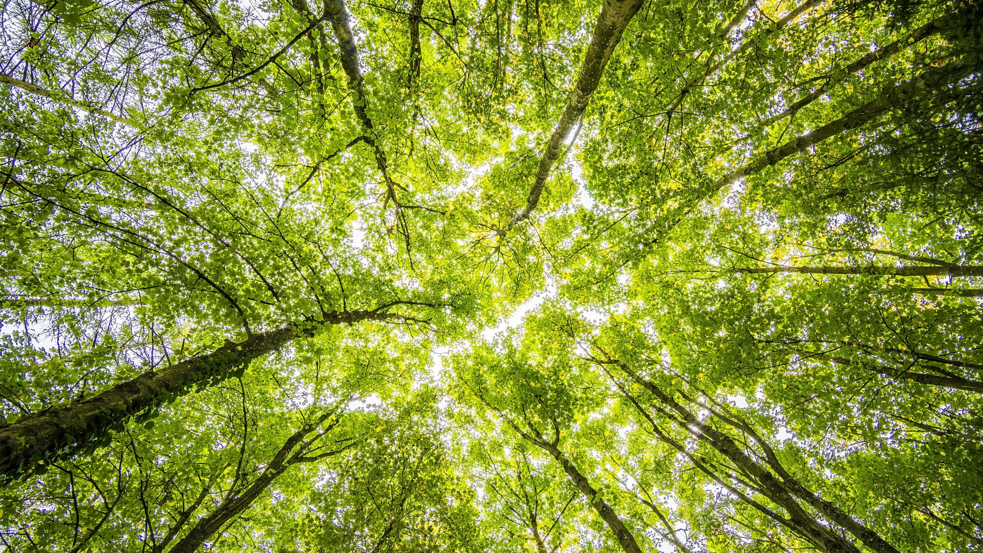 Photo of green trees from ground looking up. Represent mental health during covid-19
